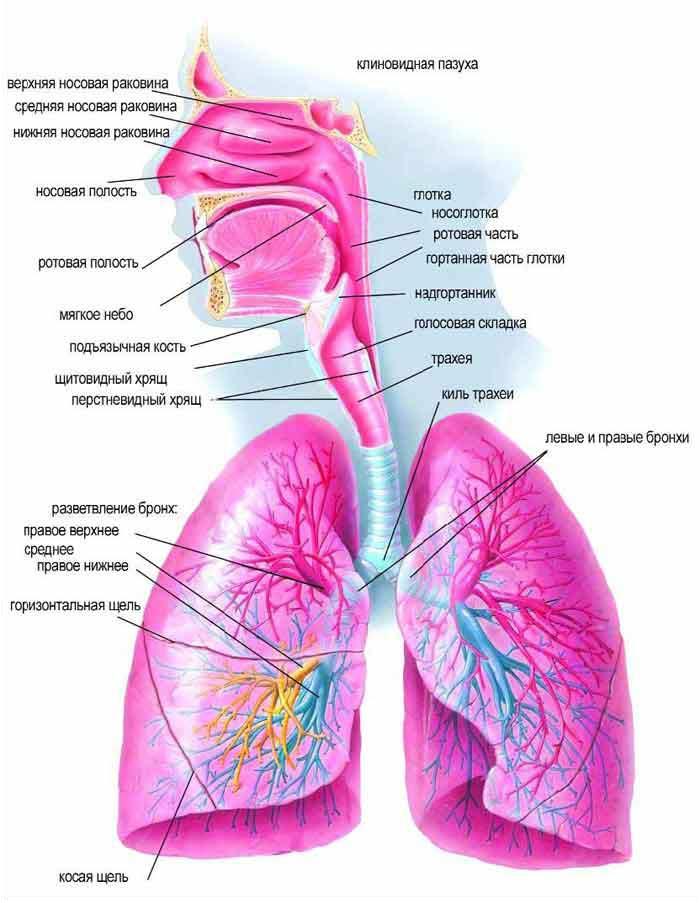 Дыхательная система человека. и. атмосферным воздухом. газообмен между...